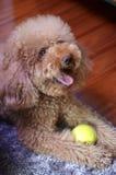 Small dog Royalty Free Stock Photos