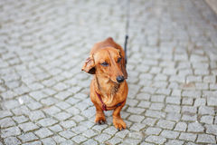 Small dog dachshund Royalty Free Stock Images