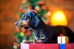 Small dog of the Dachshund breed sits on a large gift box Royalty Free Stock Image