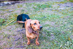 Small dog Dachshund outdoors Royalty Free Stock Image