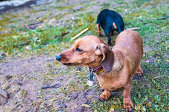 Small dog Dachshund outdoors Stock Photography