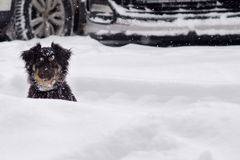 Funny dog looks out of a snowdrift. stock image