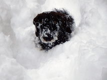 Small dog and deep snow Royalty Free Stock Image