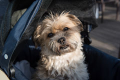 Small dog in a dog carriage winking in the sun.  royalty free stock image