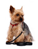 Small Dog with Dog-lead Royalty Free Stock Photos