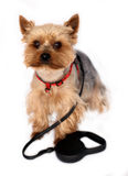 Small Dog with Dog-lead Royalty Free Stock Images