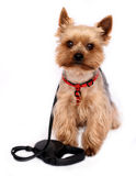 Small Dog with Dog-lead Royalty Free Stock Photo