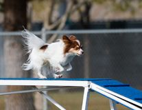 Small dog on the dog walk in agility. Small dog coming across the dog walk in agility Stock Photo