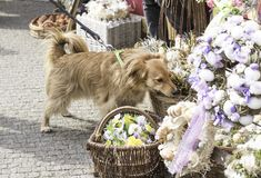 Cute Dog at an Easter market, sniffing the decorations stock photography