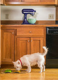 Small dog eating his dinner in the kitchen Stock Photo