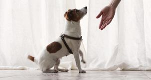 Small dog executes a command pet obedience workout