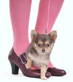 Small Dog on the feet. Small Dog on the Woman's feet Royalty Free Stock Photo