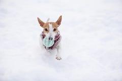 Small dog fetching ball running on camera Royalty Free Stock Image