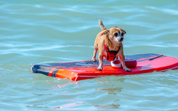 Small dog floating on a raft. A small dog isn`t sure what to make of the fact she is floating on a raft on lake Michigan! don`t worry, her owner is close Royalty Free Stock Photos