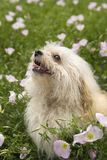 Small dog in flower field. Royalty Free Stock Photo