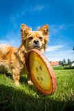Small dog with frisbee Stock Images