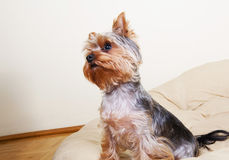 Small dog funnily pay attention on his owner Stock Photography