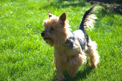 Small dog on garden. Prepared for some fun games with kids. Yorkshire terrier. Animal friend. Sunlight effect Royalty Free Stock Photo