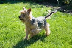 Small dog on garden. Prepared for some fun games with kids. Yorkshire terrier. Animal friend. Sunlight effect Stock Photos