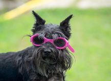 Small dog with glasses Royalty Free Stock Images