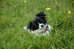 Small dog in green grass Royalty Free Stock Photo