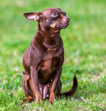 Small dog on green grass. `small dog sitting on green grass`  ` Sunny day`  `summer Royalty Free Stock Image