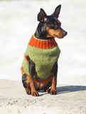 Small dog in a green sweater sitting on a snow background Royalty Free Stock Images