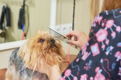 Small dog at the groomer. Royalty Free Stock Photos