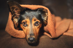 Small dog hiding under blanket. A small black and brown dog or canine hiding under an orange blanket on a couch while looking scared, worried, alert, frightened Royalty Free Stock Image
