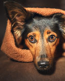 Small dog hiding under blanket Stock Images