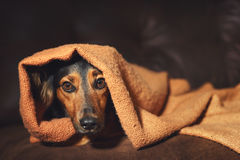 Small dog hiding under blanket. A small black and brown dog or canine hiding under an orange blanket on a couch while looking scared, worried, alert, frightened stock photos