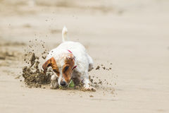 Small Dog High Speed Action Stock Image