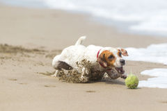 Small Dog High Speed Action Royalty Free Stock Photography