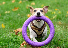 Small dog holding giant toy. Jack Russell Terrier fetching puller Royalty Free Stock Photography