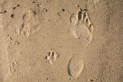 Small dog and humans feet prints on a wet sand. Abstract background Royalty Free Stock Photo