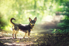 Free Small Dog In Woods Stock Photo - 35678780