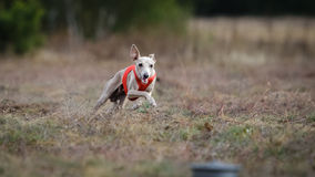 Small Dog Italian Greyhound pursues bait in the field Stock Images