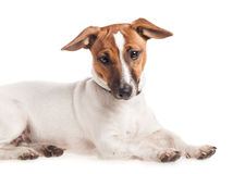 Small dog Jack Russell terrier Royalty Free Stock Image