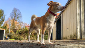 Small dog (Jack Russell Terrier) looks like a giant. View at eye level on the garage space Stock Images