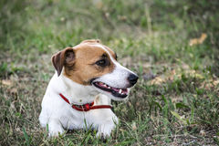 A small dog Jack Russell Terrier lying on green grass. A resting pet Royalty Free Stock Image