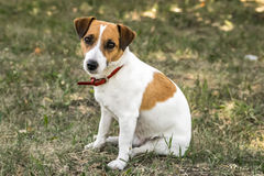 A small dog Jack Russell Terrier sitting on green grass and looking to the camera Royalty Free Stock Photos