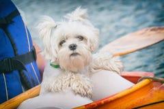 Small dog on a kayak Stock Photo