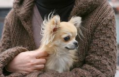 Small dog in lap Royalty Free Stock Photos