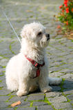 Small dog on a leash. Looking away Stock Photography