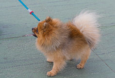 Small dog on a leash while walking Stock Photography