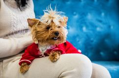 Photo session couch tiffany blue turquoise color dog pet new year christmas red terrier sofa toy. A small dog lies on the hands of her mistress. A New Year dog Stock Images
