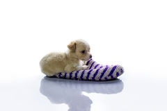 Small dog lies in the Slipper Royalty Free Stock Images