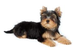 Small dog lies on white Royalty Free Stock Photo