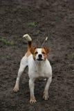 Small dog. Listless for shooting, Serbia Stock Photos