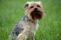 Small dog. Little dog sitting on the lawn narrowed eyes from the wind Stock Images